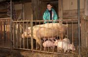 Ameliorarea raselor de porci de pe valea Someşului