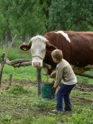 Vaci de rasă şi însămânţări artificiale
