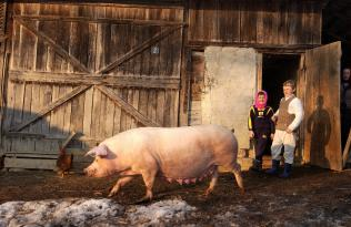 Improving the swine stock on the Somes Valey